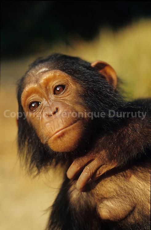 1 YEAR OLD BABY CHIMPANZEE, CONKOUATI-DOULI NATIONAL PARK, CONGO