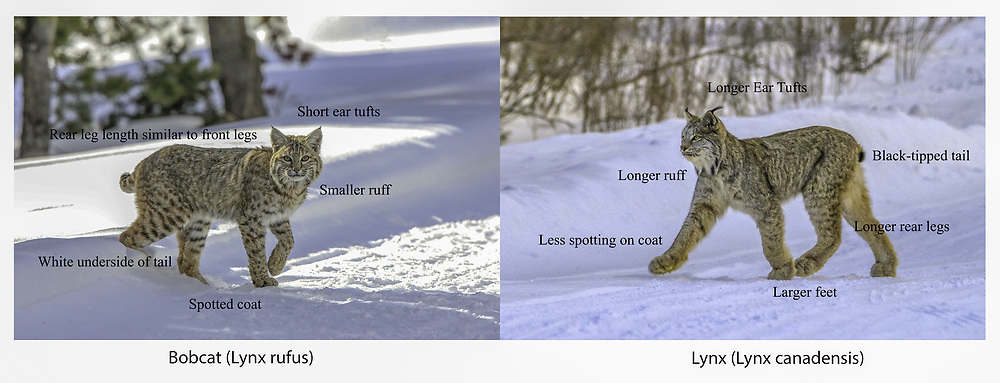 Comparison of Bobcat (Lynx rufus) and Canada lynx (Lynx canadensis.)