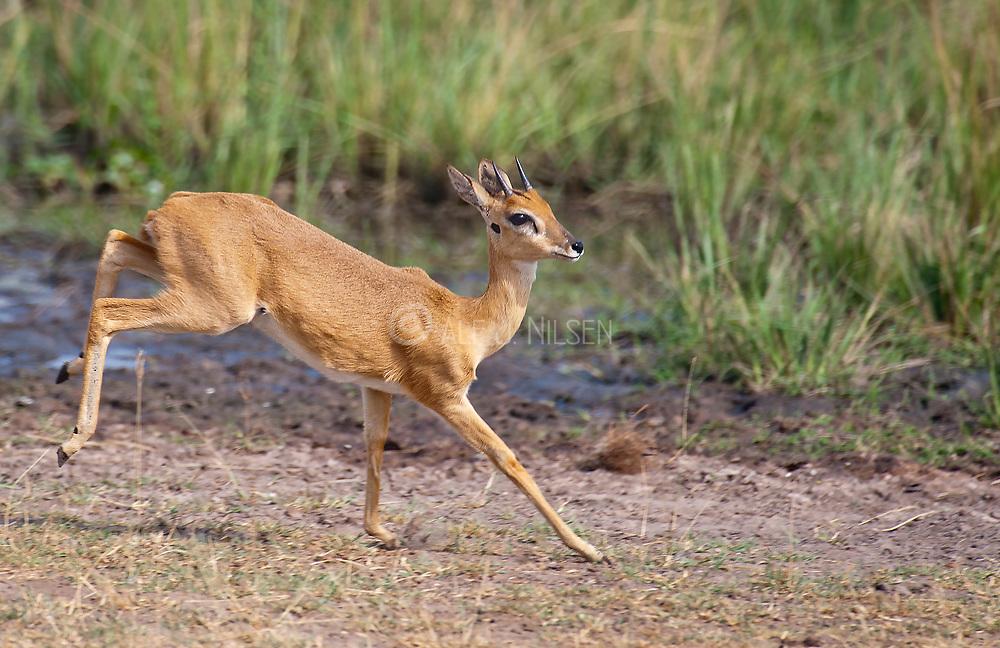 Oribi (Ourebia ourebi) from Murchison Falls, Uganda.