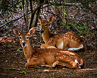 Pair of Fawns Resting in the Shade to Escape the Heat. Backyard summer nature in New Jersey. Image taken with a Nikon D700 camera and 28-300 mm VR lens (ISO 800, 300 mm, f/5.6. 1/40 sec).