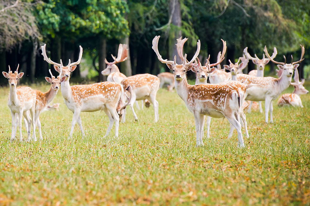 Farming PR Photography picture of falloe deer in Cheshire at Eaton Estate