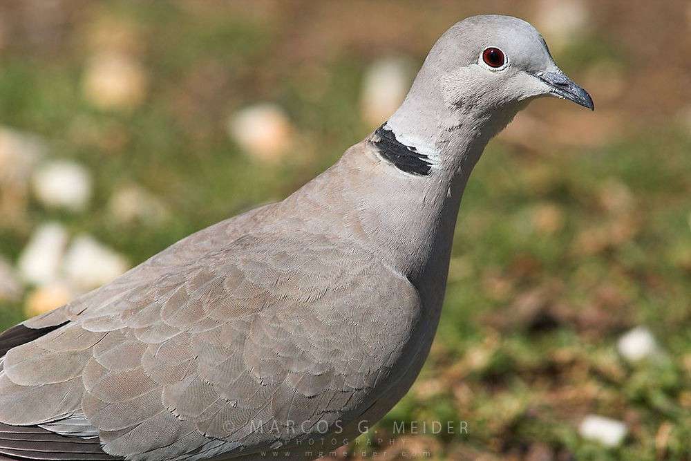 Collared Dove (Streptotelia turtur).