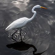 White Crane in pond.
