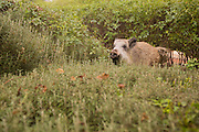 A wild boar (Sus scrofa) Photographed in Israel in January