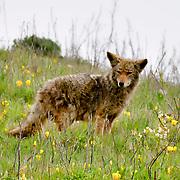 Point Reyes Coyote, Point Reyes National Seashore, California