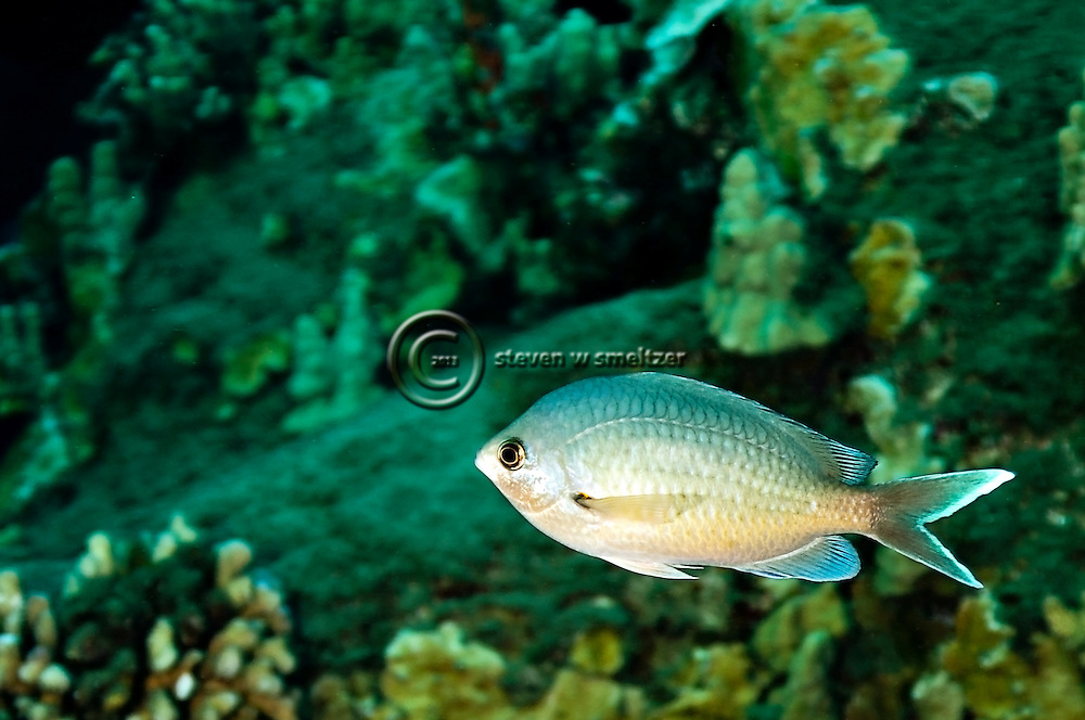 Threespot Chromis Lightened, Chromis verater, Jordan & Metz, 1912, Molokai Hawaii