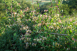 Lonicera 'Graham Thomas'. Honeysuckle