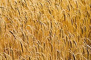 Barley field in Norfolk, United Kingdom