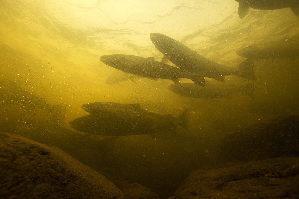 Atlantic salmon (Salmo salar)<br /> Spawning migration upstreams, Ume&auml;lven, Sweden<br /> Atlantischer Lachs (Salmo salar)<br /> Laichwanderung, Ume&auml;lven, Schweden<br /> Saumon atlantique (Salmo salar)<br /> Migration dans la rivi&egrave;re Ume&auml;lven, Su&egrave;de<br /> 19-07-2009