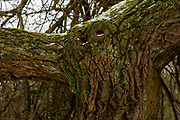 "Maidenhead, United Kingdom.  General View, ""Tree Bark and Limb spread"".  Raymill Island Winter Snow. Banks of the River Thames. <br /> <br /> Friday  02/03/2018 <br /> <br /> © Peter SPURRIER,<br /> <br /> Leica Camera AG  LEICA M (Typ 262)  1/125 <br /> sec.  50mm f4.0  ISO 320   26.7MB"