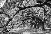 Fine Art-Trees