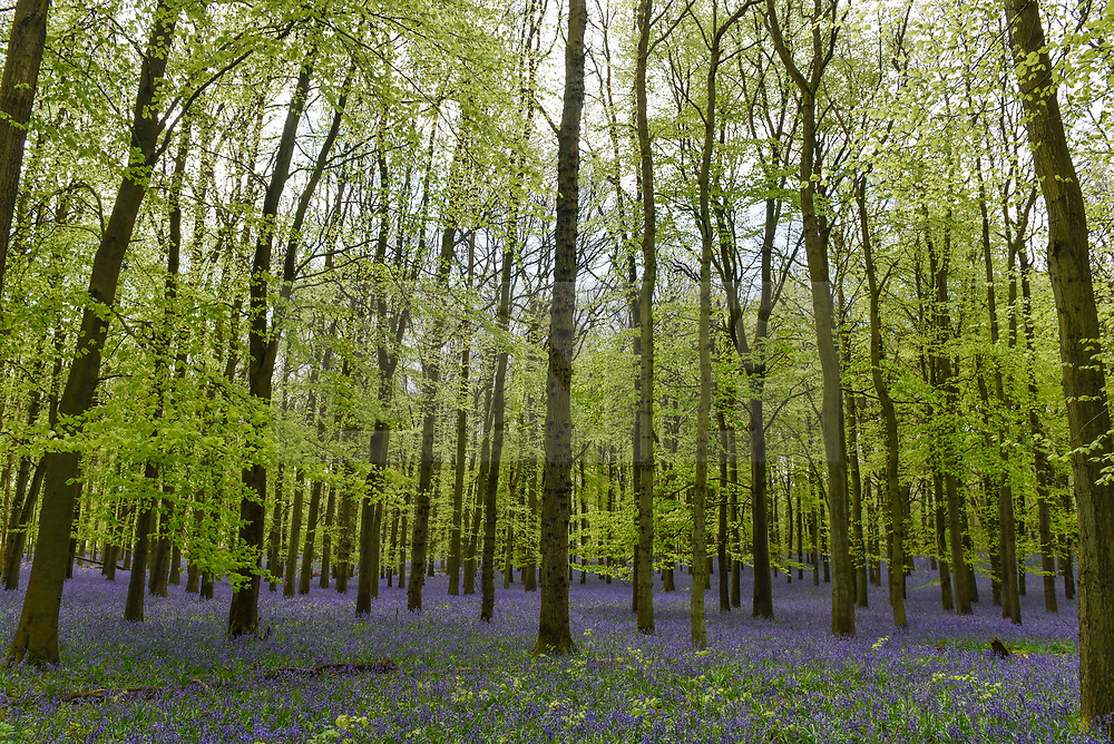 © Licensed to London News Pictures. 25/04/2018. ASHRIDGE, UK.  Bluebells are in bloom in Dockey Wood, Hertfordshire.   As the popular location experiences high numbers of visitors, the National Trust has imposed an entrance fee in recent years and, this year, has built barricades of twigs and branches to clearly demarcate pathways in order to protect the delicate flowers from being trampled.   Photo credit: Stephen Chung/LNP