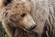 Grizzly Bear, Brown Bear, Bear, Denali National Park, Alaska