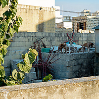 Dogs on the roof;<br />Gozo, Malta, Europe.<br />Summer 2016.
