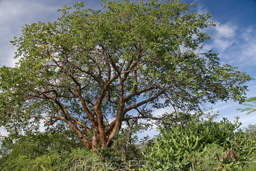 Almácigo Tree