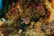 Mediterranean moray (Muraena helena) | Mittelmeer-Muräne (Muraena helena)