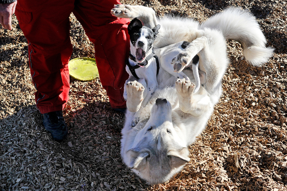mkb012213a/metro/Marla Brose/012213<br /> Vic Romero, supervises as his dog Kaya, a ten-month-old husky malamute plays with Sookie, a three-month-old English Pointer owned by Brittany Garcia at the North Domingo Baca Dog Park on Corona Ave. NE, north of Paseo del Norte, Tuesday, Dec. 22, 2013. The dog park was full of frisky dogs who played in warm winter weather. (Marla Brose/Albuquerque Journal)