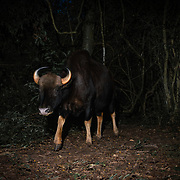 The gaur (Bos gaurus),  is the largest extant bovine, native to Southeast Asia. It has been listed as Vulnerable on the IUCN Red List since 1986.  The huge males are solitary and spend the day within the confines of the deep forest.