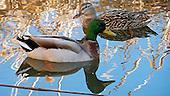 Duck, Mallard / Anas platyrhynchos