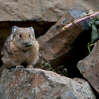 Pika eating vegetation from its haypile. Hyalite Canyon, Bozeman, Montana.