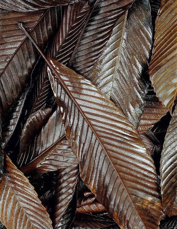 Fallen leaves, Akaka Falls State Park, Island of Hawaii, Hawaii