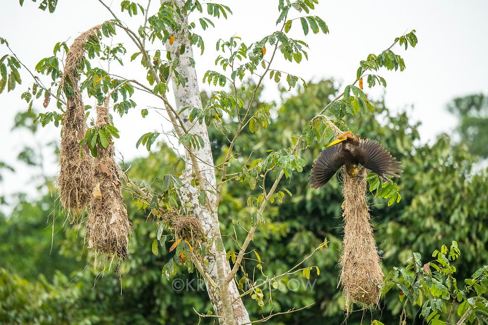 A Russet-backed Oropendola (Psaracolius angustifrons) diving and calling on a hanging nest on Pahuachiro Caño off of the Marañon River. Pacaya Samiria National Reserve, Upper Amazon River, Peru.