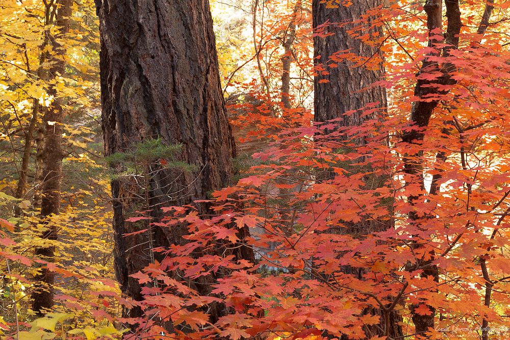 The dark, textured trunks of ponderosa pine contrast nicely with the reds and yellows of autumn maples.