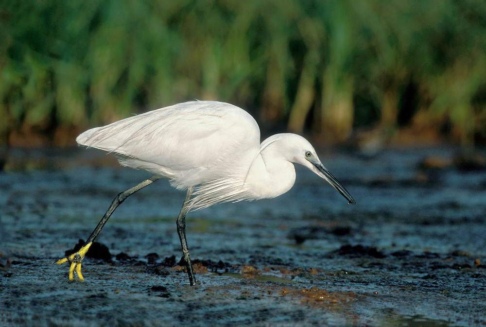 Little Egret Egretta garzetta L 55-65cm. Unmistakable pure white, heron-like bird. Long, black legs have bright yellow toes. Feeds actively in water, often chasing small fish. Has a hunched posture when resting. In flight, neck is held 'S-shaped' and legs are trailing. Sexes are similar. Adult has pure white plumage. Note yellow eye. Nape plumes seen in breeding plumage. Juvenile is similar to adult. Voice Mostly silent. Status Recent arrival to Britain, now locally common on coasts and increasingly on inland wetlands.