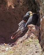 Adult female peregrine falcon preens her feathers while percjhed at the side of her eyrie cave. © 2016 David A. Ponton