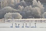 Whooper swans (cygnus cygnus) on partially frozen Loch Insh, Cairngorms National Park, Scotland.