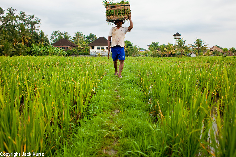 Apr 23 - BALI, INDONESIA -  A man harvests rice in a paddy in Ubud, Bali. Rice is an integral part of the Balinese culture. The rituals of the cycle of planting, maintaining, irrigating, and harvesting rice enrich the cultural life of Bali beyond a single staple can ever hope to do. Despite the importance of rice, Bali does not produce enough rice for its own needs and imports rice from nearby Thailand. Photo by Jack Kurtz/ZUMA Press