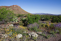 Spring wildflowers: Slender Vervain (Verbena halei), Desert Marigold (Baileya multriadiata), and Blackfoot Daisy (Melampodium leucanthum),  at Big Bend National Park, Texas.