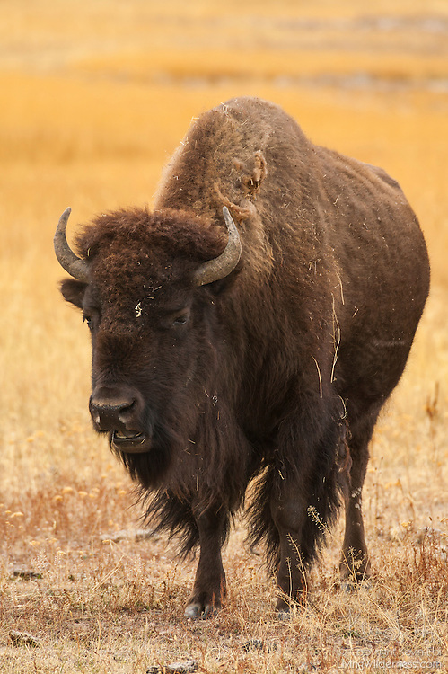 An American bison (Bison bison) stands in a golden field in Yellowstone National Park, Wyoming. Bison, the largest terrestial animals in North America, mainly feed on grass. Bison are also commonly referred to as buffalo.