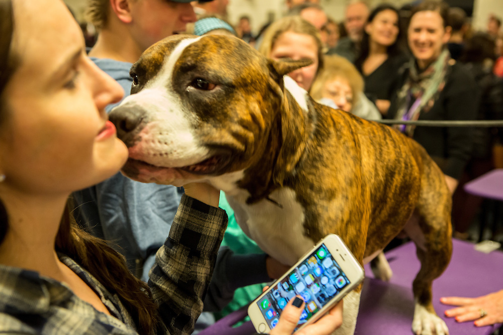 New York, NY - 16 February 2016. Louie, an American Staffordshire terrier, gets friendly with a visitor in the benching area of the 140th Westminster Kennel Club Dog show in Madison Square Garden.