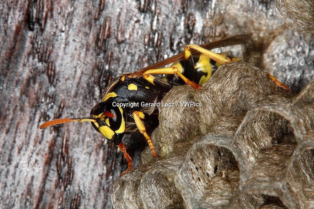 Common Wasp, vespula vulgaris, Adult Standing on Nest, Normandy