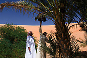 Two Emirati men pick dates from an oasis near the Empty Quarter, UAE