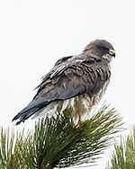 Swainsons's hawk perched on the top of a ponderosa pine tree by gripping clusters of needles in its feet, © 2015 David A. Ponton