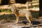 Coyote, Yosemite National Park, North America