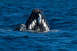 ~ mom and her little calf suddenly surfaced, vertically, right alongside our skiff, with their heads raised above the water to have a look around - creating a rather darling image of the two of them, with baby nuzzling close &hellip;  <br />
