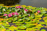 Pond WIth Lilies, Sagg Main Street, Sagaponack, NY