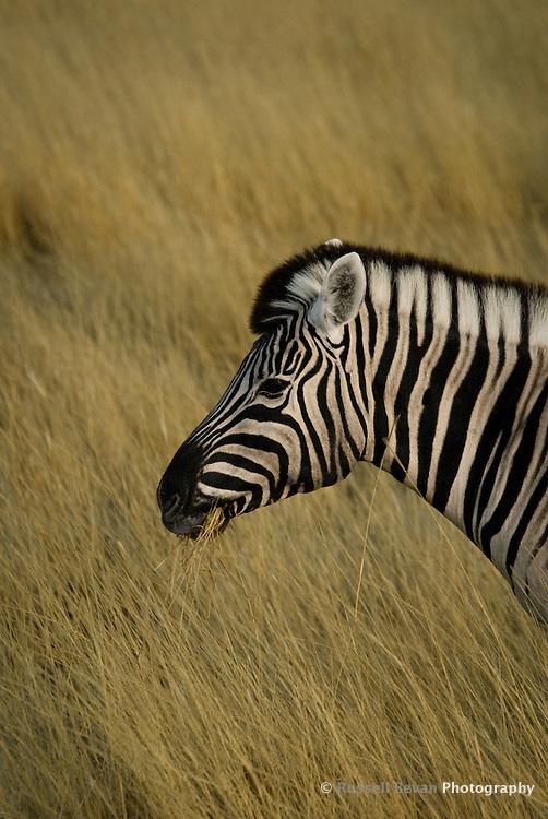 Common Zebra in Etosha National Park, Namibia