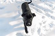 John Haugland's Labrador retriever puppies.