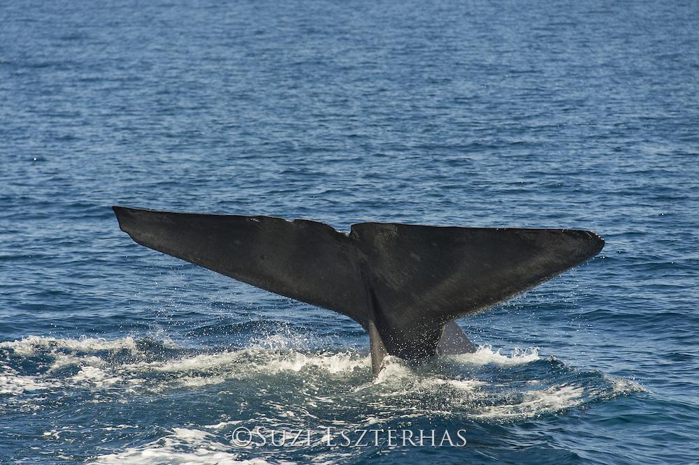 Blue Whale <br /> Balaenoptera musculus<br /> Baja California, Mexico