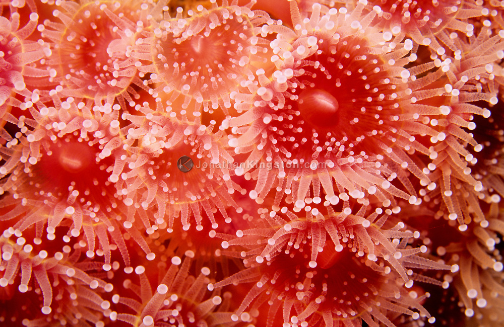 Strawberry anemone, Corynactis californica, resembles sea anemones, but are more closely related to stony corals.  The strawberry anemone is found in water deeper than ten feet around in the subsea city of the Channel Islands National Park, California.