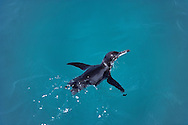 Galapagos penguin swimming, Spheniscus mendiculus, Fernandina Island, Galapagos Islands