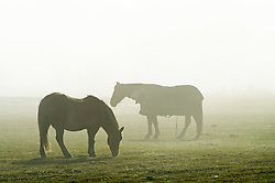 © Licensed to London News Pictures. 24/12/2018. Crockenhill, UK.Horses gazing in a misty field near Crockenhill. Christmas eve misty sunny weather this morning as people finish up for Christmas day. Photo credit: Grant Falvey/LNP
