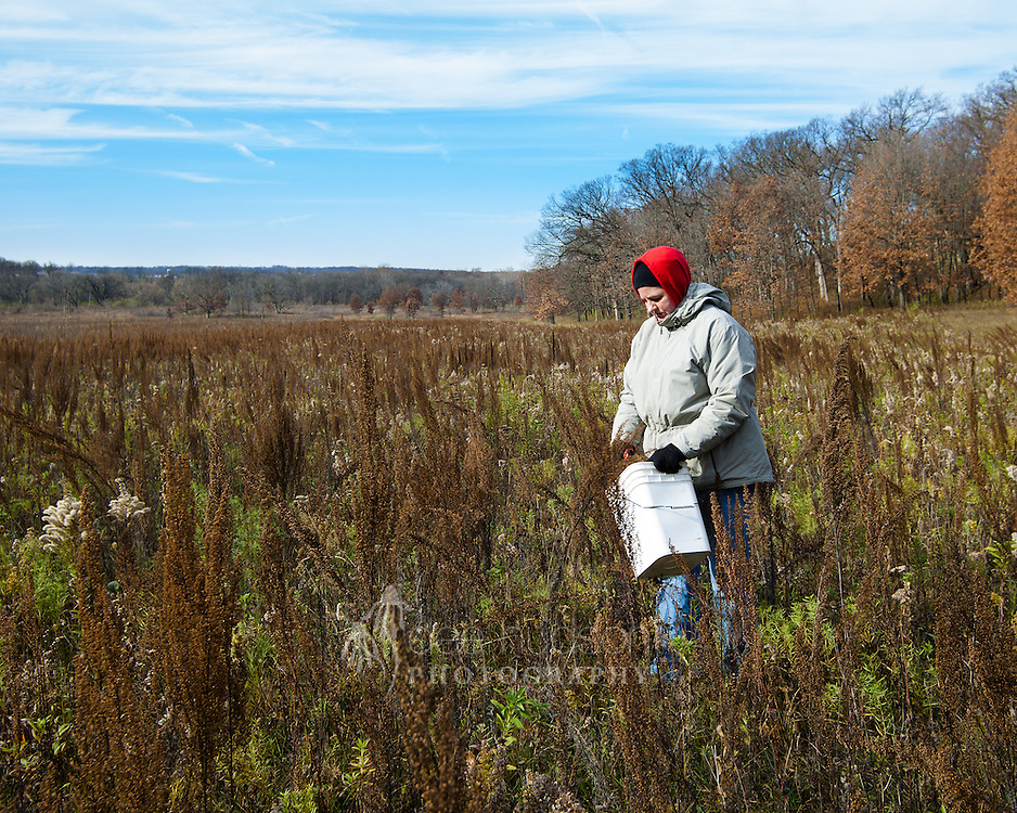 Most of the seeds at Nachusa Grasslands are hand–harvested so the seed proportions in a mix for a new planting can be determined and the prairie land remains undisturbed.