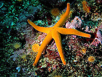 Blood Star (Henricia leviuscula) star fish