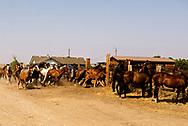 Mark Real Bird, Real Bird Bucking Horses, sorts their horses, Crow Fair Rodeo, Montana