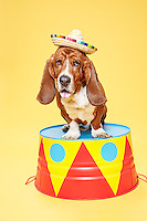 Basset Hound wearing a sombrero, standing on a circus pedestal. <br /> Photographed at the Photoville Photo Booth September 20, 2015